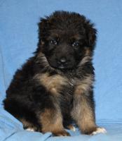 Foto 17 Altdeutscheschaeferhund-Welpen