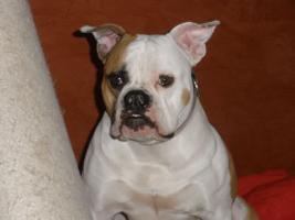 American Bulldog ''White Angels Bubbles'' sucht neues zuhause