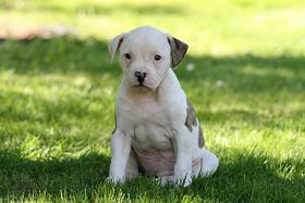 American-Bulldogwelpen suchen ein neues zuhause