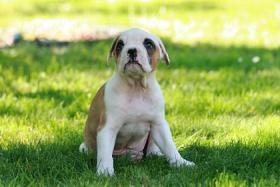 Foto 2 American-Bulldogwelpen suchen ein neues zuhause