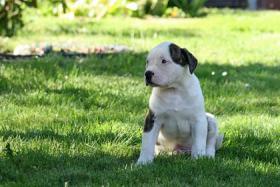 Foto 3 American-Bulldogwelpen suchen ein neues zuhause