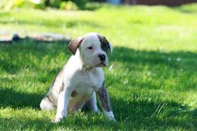 Foto 6 American-Bulldogwelpen suchen ein neues zuhause
