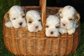 American Cocker Spaniel - puppies with pedigree