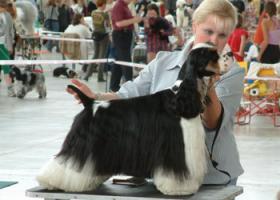 Foto 4 American Cocker Spaniel - puppies with pedigree
