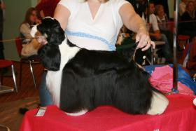 Foto 5 American Cocker Spaniel - puppies with pedigree