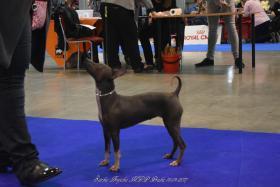 Foto 4 American Hairless Terrier