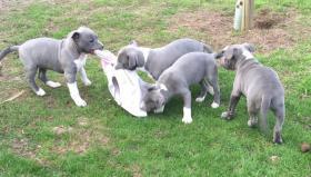 American Staffordshire Terrier BlueLine Weibchen