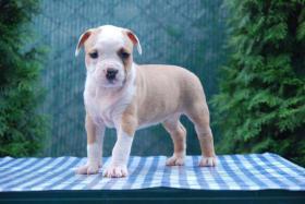 Foto 6 American Staffordshire Terrier Welpen zum Verkauf