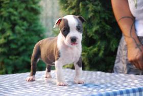 Foto 8 American Staffordshire Terrier Welpen zum Verkauf