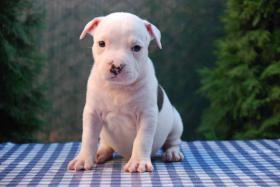 Foto 9 American Staffordshire Terrier Welpen zum Verkauf