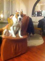 Foto 15 American Staffordshire Terrier Welpen zum Verkauf