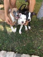 American Staffordshire Terrier Welpen zum Verkauf