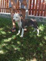 Foto 3 American Staffordshire Terrier Welpen zum Verkauf