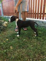 Foto 4 American Staffordshire Terrier Welpen zum Verkauf