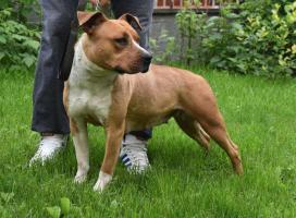 Foto 5 American Staffordshire Terrier Welpen zum Verkauf