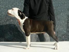 Foto 4 American Staffordshire Terrier Welpen zu verkaufen!