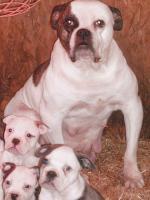 Foto 2 American bulldog-bully