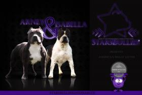 American bully puppies with pedigree!