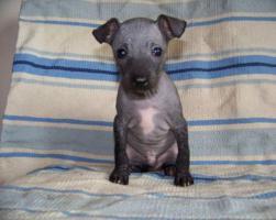 Foto 3 American hairless terrier