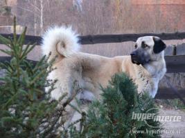 Foto 4 Anatolischer Hirtenhund FCI Welpen