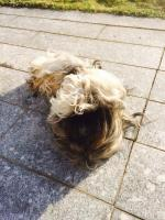 Foto 3 Anfang Februar erwartet meine Lhasa Apso Hündin ihre Fellnasen!