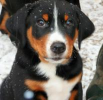 Foto 3 Appenzeller Sennenhund Welpe mit Papiere