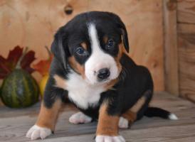 Foto 3 Appenzeller Sennenhund Welpen mit Papiere FCI