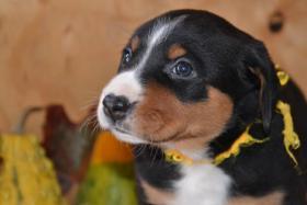 Foto 6 Appenzeller Sennenhund Welpen mit Papiere FCI