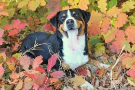 Foto 2 Appenzeller Sennenhund Welpen mit Stammbaum