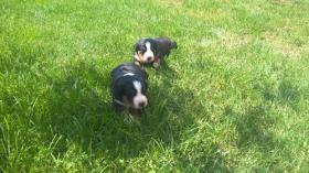 Foto 2 Appenzeller Sennenhund - Welpen
