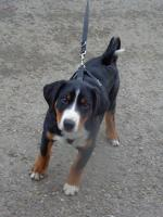 Foto 2 Appenzeller Sennenhunde