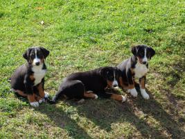 Foto 3 Appenzeller Sennenhunde