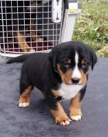 Appenzeller Sennenhunde - Angebot