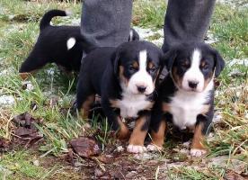 Foto 3 Appenzeller Sennenhunde - Angebot