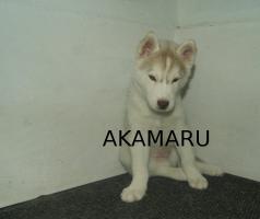 Foto 2 Artemis und Akamaru suchen noch ein passendes Zuhause