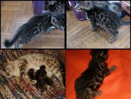 Foto 2 Atemberaubend schöne Bengal Kätzchen Zucht o. Pet