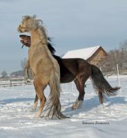 Foto 4 Aufzuchtplatz für 2 Hengstfohlen Pony oder Kleinpferd