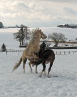 Aufzuchtplatz für 2 Hengstfohlen Pony oder Kleinpferd