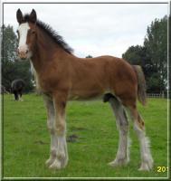 Ausdrucksstarkes Shire Horse Hengstfohlen abzugeben