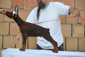 Foto 3 Ausgezeichnet Dobermann Welpen zu verkaufen