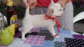 Ausgezeichnete langhaarige Chihuahua Welpen zu verkaufen