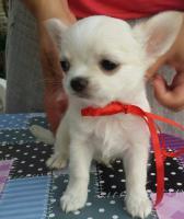 Foto 2 Ausgezeichnete langhaarige Chihuahua Welpen zu verkaufen