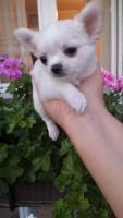 Foto 3 Ausgezeichnete langhaarige Chihuahua Welpen zu verkaufen