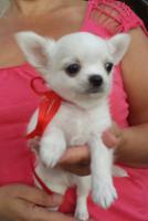 Foto 5 Ausgezeichnete langhaarige Chihuahua Welpen zu verkaufen