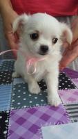 Foto 6 Ausgezeichnete langhaarige Chihuahua Welpen zu verkaufen