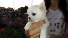 Foto 8 Ausgezeichnete langhaarige Chihuahua Welpen zu verkaufen