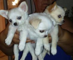 Foto 10 Ausgezeichnete langhaarige Chihuahua Welpen zu verkaufen