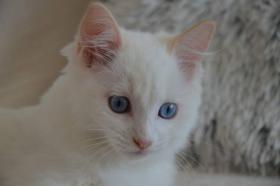 Foto 2 Außergewöhnlich Katze Ragdoll Reg. FIFE
