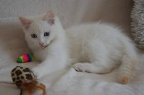 Foto 3 Außergewöhnlich Katze Ragdoll Reg. FIFE