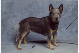 Australian Cattle Dog Welpen - VDH